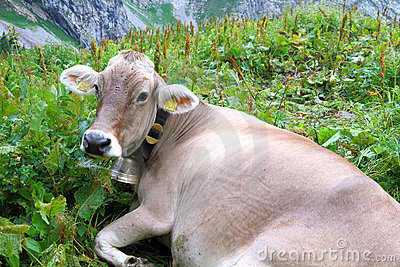 Brown lying cow with bell