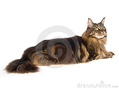 Brown Maine Coon on white background