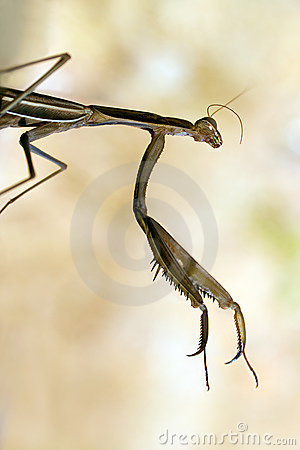 Brown Mantis Royalty Free Stock Photo - Image: 21070805