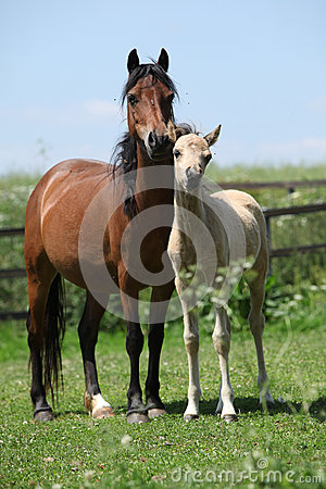 Free Brown Mare With Palomino Foal On Pasture Royalty Free Stock Photos - 32438708