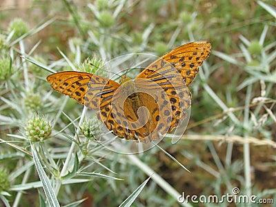 Brown/mariposa anaranjada en cardo