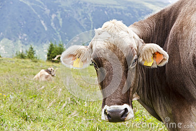 Brown Mountain Cows