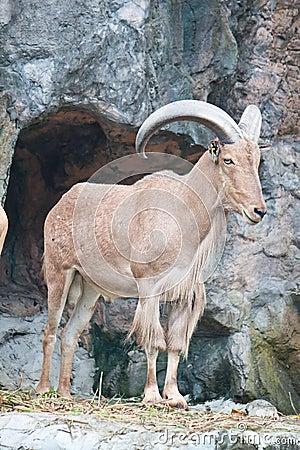Free Brown Mountain Goat Royalty Free Stock Photos - 20127808