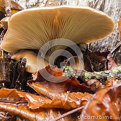 Brown mushroom cap