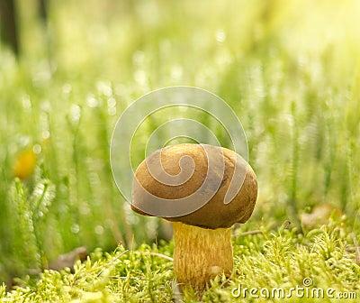 Brown mushroom   Xerocomus badius   in moss.