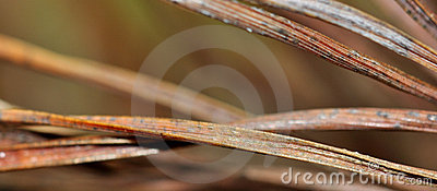 Brown needles of dead pine tree background