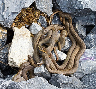Free Brown Northern Water Snake Stock Images - 12210154