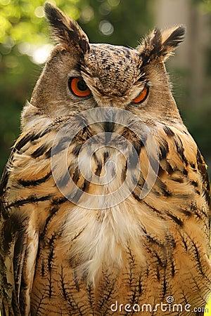 Brown Owl Stock Photog...