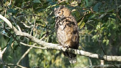Brown owl on a tree. Near the Mississippi river in Baton Rouge, Louisiana, USA stock footage