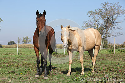 Brown and palomino horses looking at you