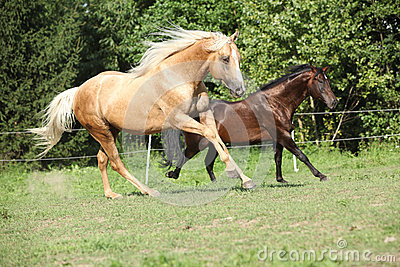 Brown and palomino stallions running on pasturage
