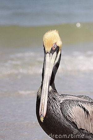 Free Brown Pelican Royalty Free Stock Photo - 13638355
