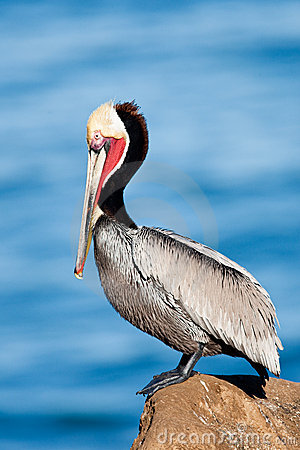 Free Brown Pelican Stock Photography - 17605462
