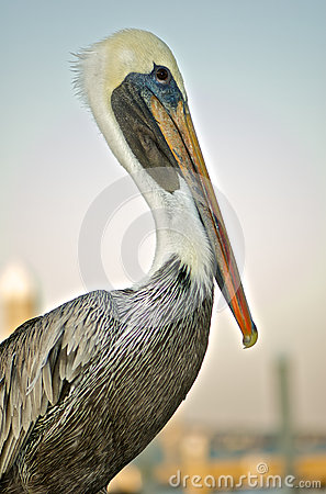 Free Brown Pelican Stock Photography - 65686632