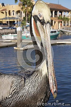 Brown Pelican Eyes the Viewer in San Carlos Mexico