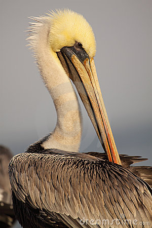 Free Brown Pelican Grooming Stock Photos - 20130073
