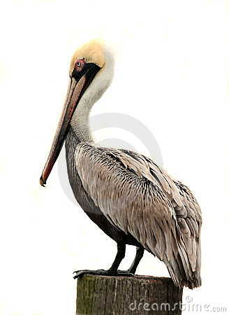 Free Brown Pelican, Isolated On White Royalty Free Stock Photo - 23718815