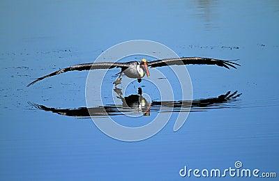 Brown pelican on lake