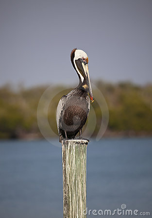 Free Brown Pelican (male) On Dock Post Royalty Free Stock Image - 13782246