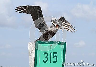 Brown Pelican on marker 315