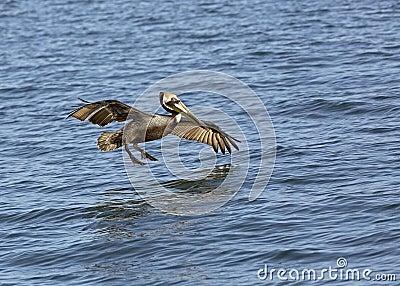 Brown Pelican (Pelecanus occidentails)