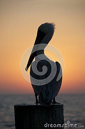 Free Brown Pelican, Pelecanus Occidentalis Royalty Free Stock Image - 18493156