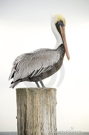 Free Brown Pelican, Pelecanus Occidentalis Stock Photos - 18493213