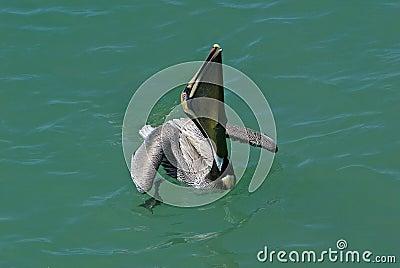 Brown Pelican (Pelicanus occidentalis)