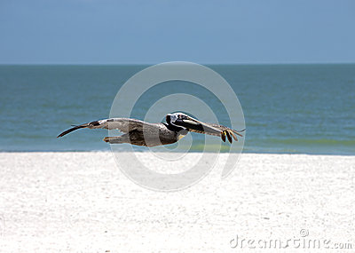 Brown Pelican (Pelicanus occidentalis)