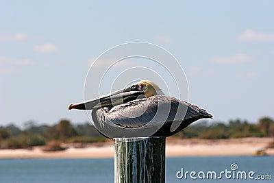 Brown Pelican Resting