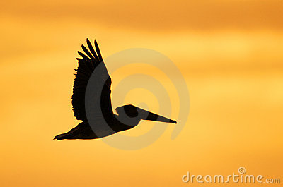 Brown Pelican Silhouette