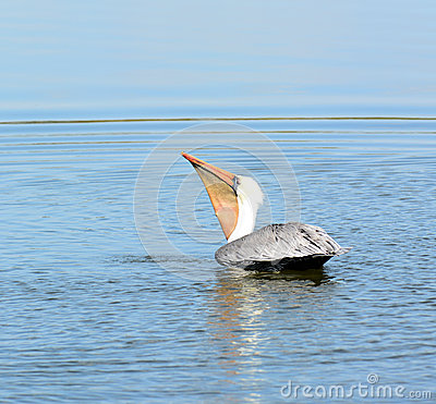 Brown Pelican Swallowing His Catch.