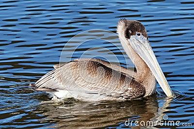 Brown Pelican Swimming