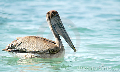 Brown pelican in water