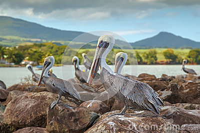 Brown pelicans in Guadepoupe