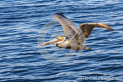 Brown pelicans over Pacific ocean at La Jolla Cove, San Diego CA