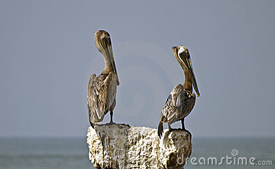Brown pelicans perched on a stone post