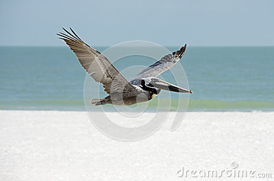 Brown-Pelikan (Pelicanus-occidentalis)