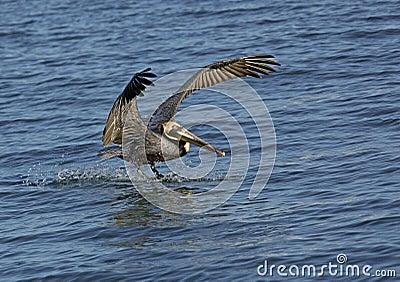 Brown-Pelikan (Pelicanus-occidentalis)