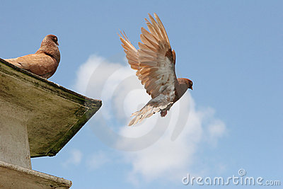 Brown pigeon flying away