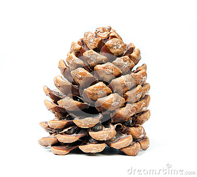 Brown pine