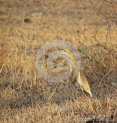 Brown pond heron bird and habitat