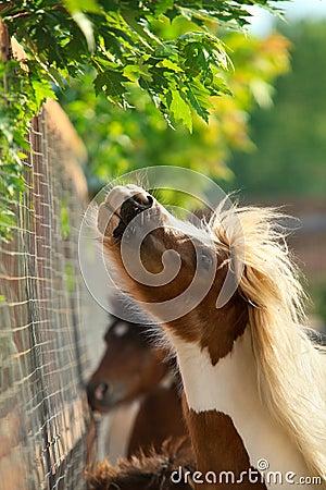 Brown ponies