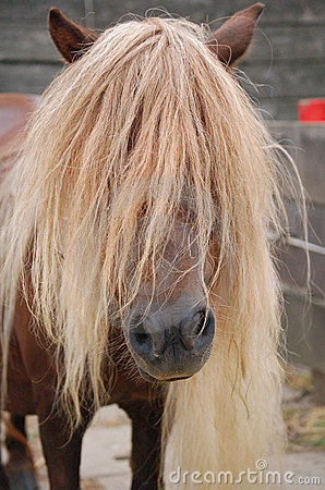 Brown pony long manes