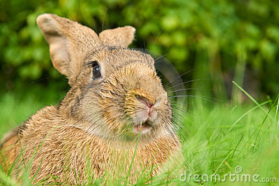 Brown rabbit bunny on grass