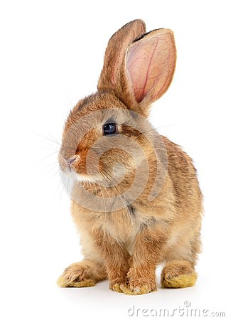 Free Brown Rabbit On White. Royalty Free Stock Photography - 101721557