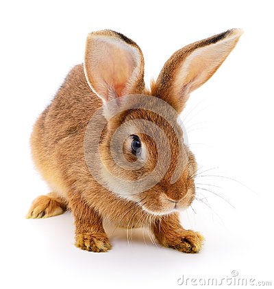 Free Brown Rabbit On White. Stock Images - 105601144