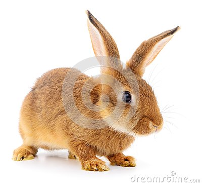 Free Brown Rabbit On White. Stock Photography - 112356432
