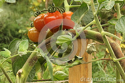 Brown rot on Tomatoes