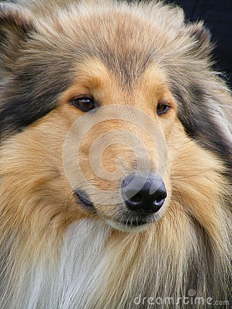 Brown rough collie portrait